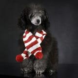 Caniche do cachorrinho em um estúdio escuro da foto com um lenço dos chrismas Foto de Stock Royalty Free