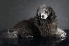 Caniche do cachorrinho que encontra-se no estúdio escuro da foto Imagens de Stock Royalty Free