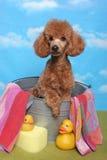 Caniche em uma cuba de banho Foto de Stock