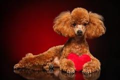 A caniche encontra-se com um coração vermelho fotografia de stock royalty free