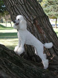 Caniche estándar en árbol Imagen de archivo libre de regalías