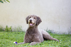 Caniche feliz Fotografía de archivo