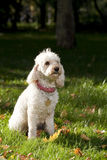 Caniche in grass. White caniche sitting in grass royalty free stock photos
