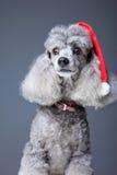 Caniche gris con el casquillo rojo de la Navidad Imagenes de archivo