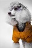 Caniche gris lindo con la chaqueta amarilla en gris Imagenes de archivo
