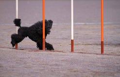 Caniche na ação da agilidade do cão Fotos de Stock Royalty Free