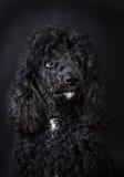 Caniche noir Photographie stock libre de droits