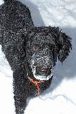 Caniche noir dans la neige Photos libres de droits