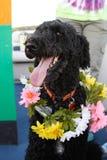 Caniche noir heureux Photo stock