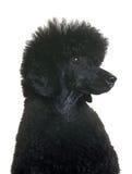 Caniche preta do anão Foto de Stock