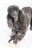 Caniche preta na neve com bola vermelha Fotografia de Stock Royalty Free