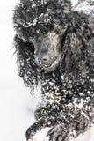 Caniche preta na neve com bola vermelha Fotos de Stock