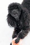 Caniche preta na neve com bola vermelha Foto de Stock