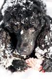 Caniche preta na neve com bola vermelha Fotos de Stock Royalty Free