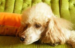 Caniche que senta-se no sofá Imagem de Stock