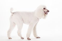 Caniche real blanco en blanco Imagen de archivo
