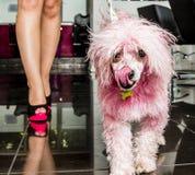 Caniche rosado foto de archivo libre de regalías