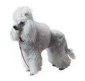 Caniche royal adulte Photographie stock libre de droits