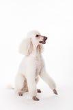 Caniche royal blanc sur le blanc Photo stock