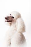 Caniche royal blanc sur le blanc Photographie stock libre de droits