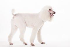 Caniche royal blanc sur le blanc Image stock