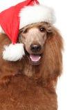 Caniche royal dans le chapeau de rouge de Noël Image libre de droits