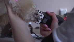 Caniche se toilettant au salon pour des chiens banque de vidéos