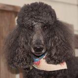 Caniche standard noir beau avec l'écharpe Photographie stock libre de droits