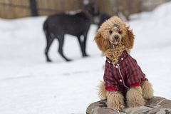 Caniche vermelha no treinamento no inverno Fotografia de Stock Royalty Free