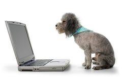 Caniche y computadora portátil imagenes de archivo