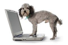 Caniche y computadora portátil Imagen de archivo