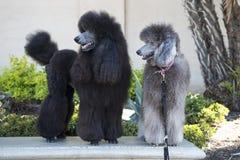 Caniches noirs et blancs et géants Photos libres de droits