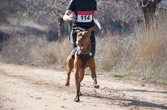 Canicross race Royalty Free Stock Photo