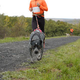 Canicross race Stock Photography
