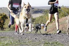 Canicross race. Several athletes and their dogs taking part in a popular canicross race Stock Photo