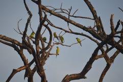 Canicularis di Aratinga Fotografie Stock