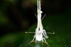 Canidia Pieris Стоковое Изображение