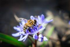 Canilla o scilla con la abeja Imagen de archivo