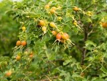 Canina Розы ветви с плодоовощами плода шиповника Стоковые Изображения RF