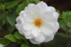 canina blanc de chien-Rose Rosa Images libres de droits