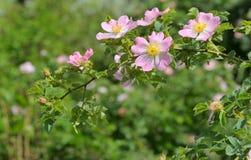 Canina color de rosa salvaje rosado de Rosa en bosque Fotos de archivo