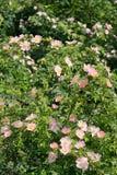 Canina color de rosa salvaje rosado de Rosa en primavera Imágenes de archivo libres de regalías