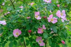 Canina de Rosa de fleurs de Rose de chien Photo stock