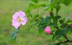 Canina de Rosa de fleurs de Rose de chien Photographie stock libre de droits