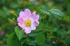 Canina de Rosa de fleurs de Rose de chien Images libres de droits
