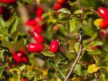 Canina de Rosa - fruta color de rosa salvaje el otoño Fotos de archivo