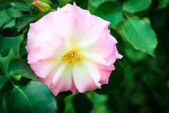 Canina de Rosa ou fleur rose fraîche de rose de chien Image stock