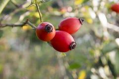 Canina di Rosa, rosa canina con i frutti rossi freschi maturati fotografie stock libere da diritti