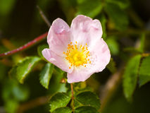 Canina di Rosa - selvaggio è aumentato sulla fioritura nella primavera Fotografia Stock Libera da Diritti