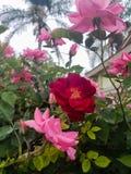 Canina Hawiian Rosa stockbilder